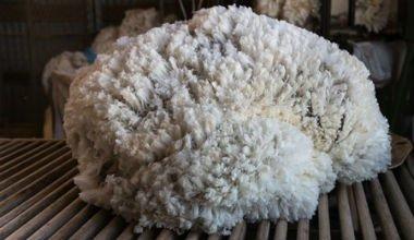 Schafwolle
